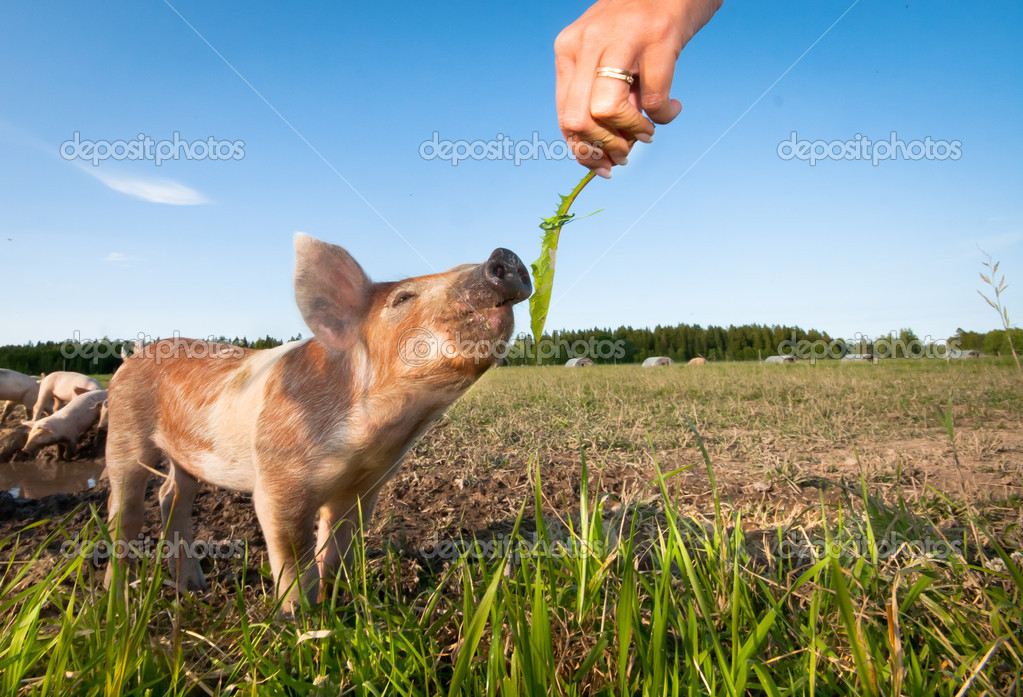 Human hand feeding a young pig