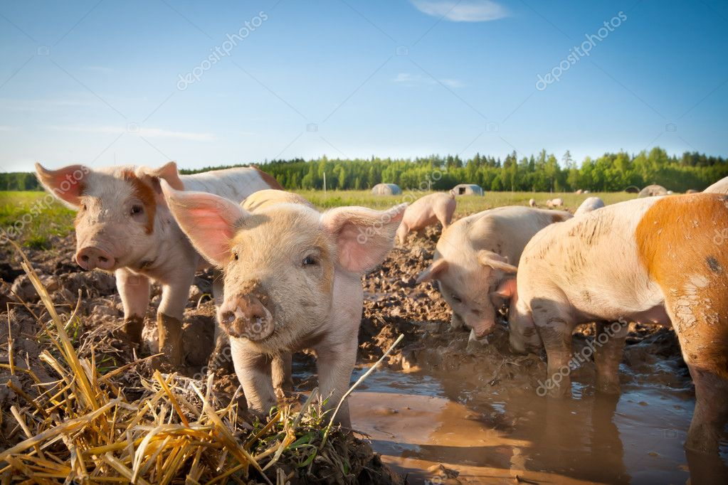 Many cute pigs on a pigfarm
