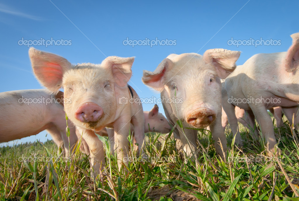 Two cute pigs