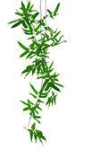 trópusi kúszónövények