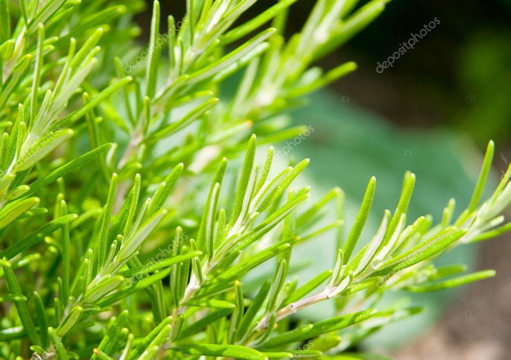 Sweet rosemary leaves