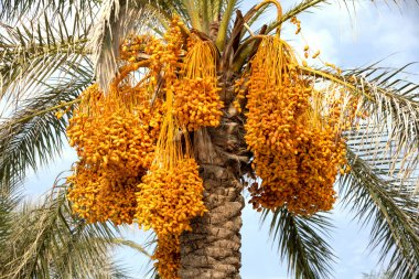 Ripe dates on a palm tree
