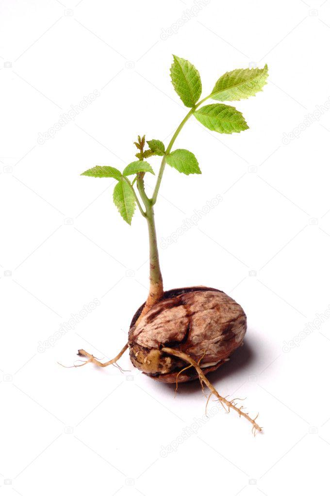 как выглядит росток грецкого ореха фото панорамой рязани можно