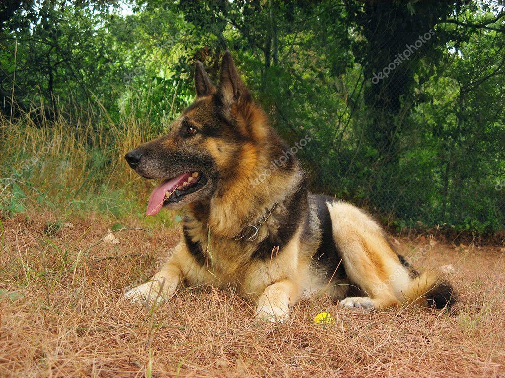 German Shepherd Wallpaper Hd German Shepherd Dog Stock