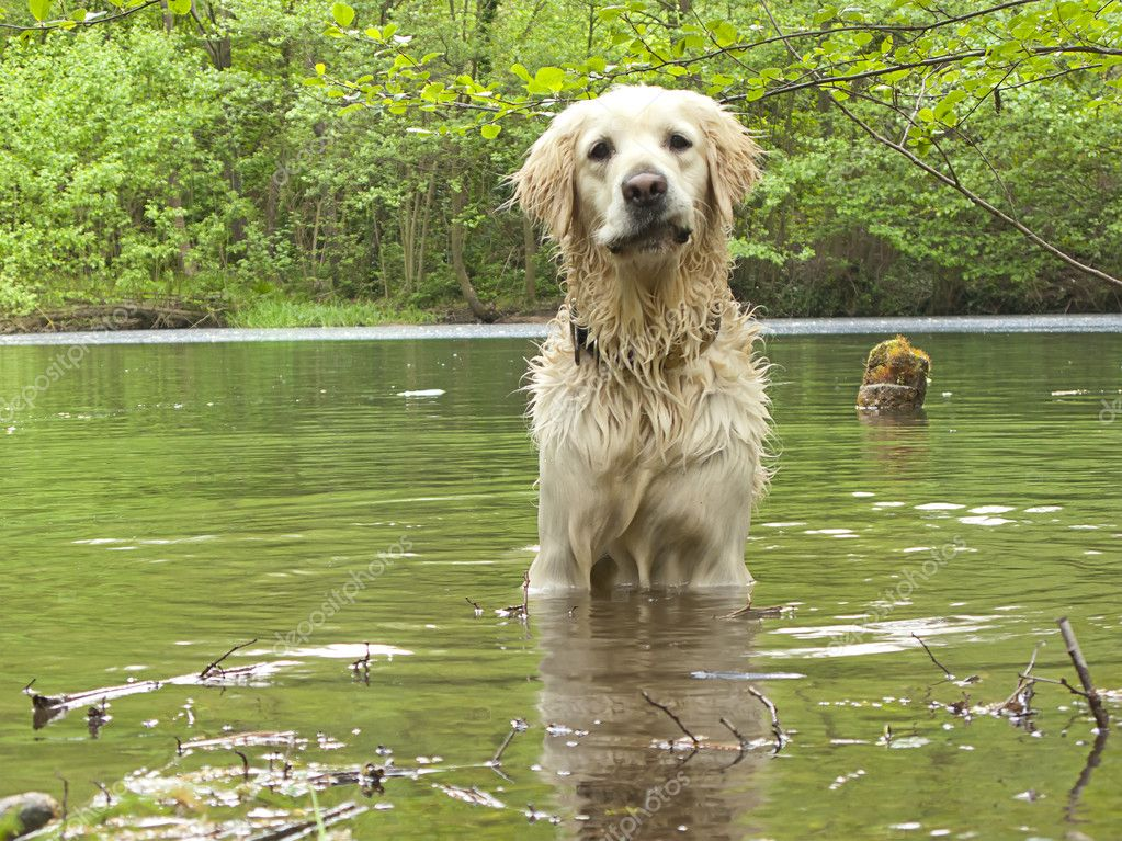 Golden retriever playing in the water