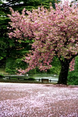 Cherry Blossom tree on a parc - Tokyo