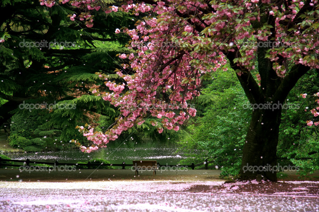Cherry Blossom tree on a parc - Tokyo