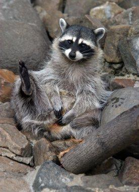 Ridiculous raccoon