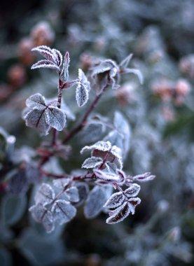 Frozen burdock plant