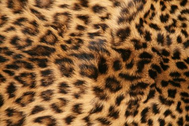 Full screen high resolution shot of a skin of the leopard. Good for a texture or a background stock vector
