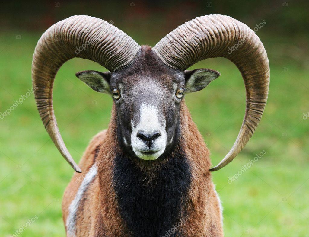 Moufflon portrait — Stock Photo, Image