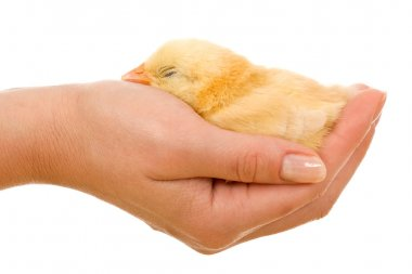 Sleeping little chicken in hand