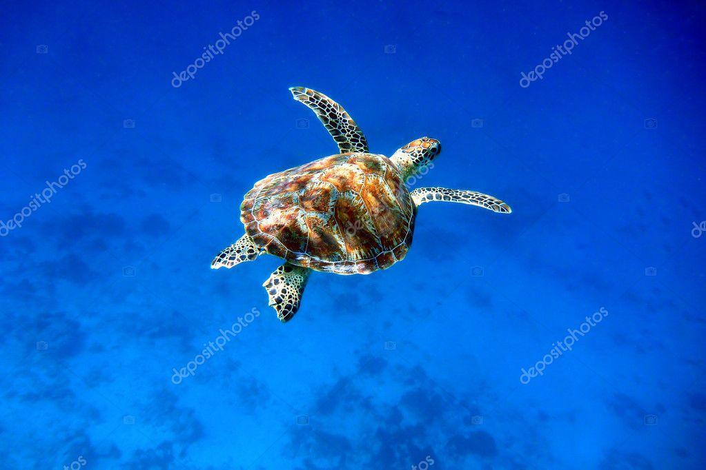 Swimming green sea turtle