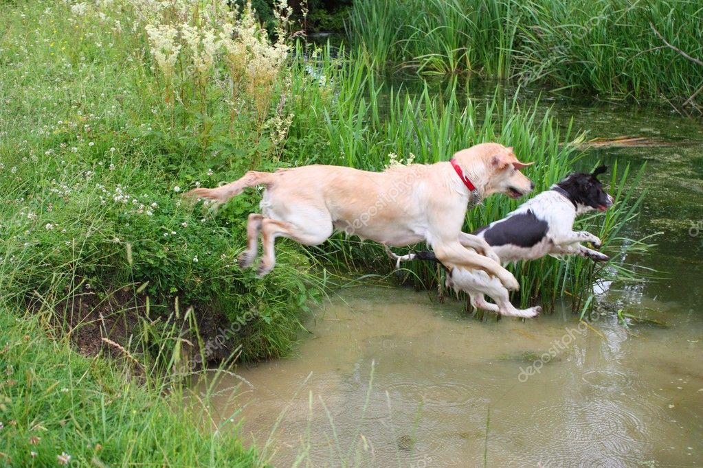 English Springer Spaniel & Golden Retriever jumping into a river