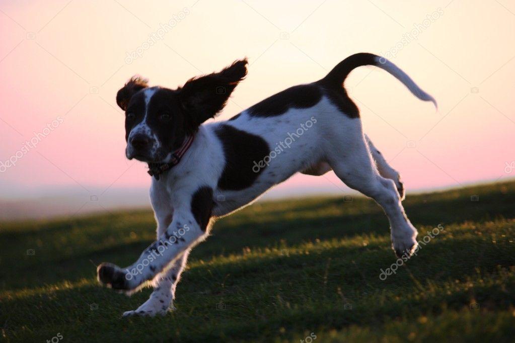 Working English Springer Spaniel Puppy Running at dusk