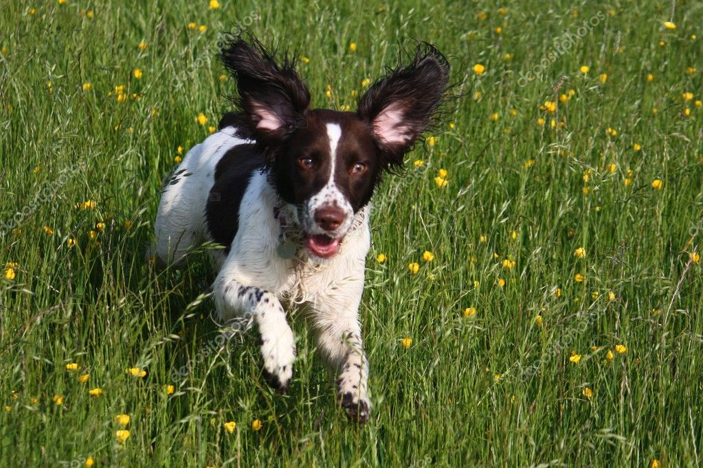 Working English Springer Spaniel Running