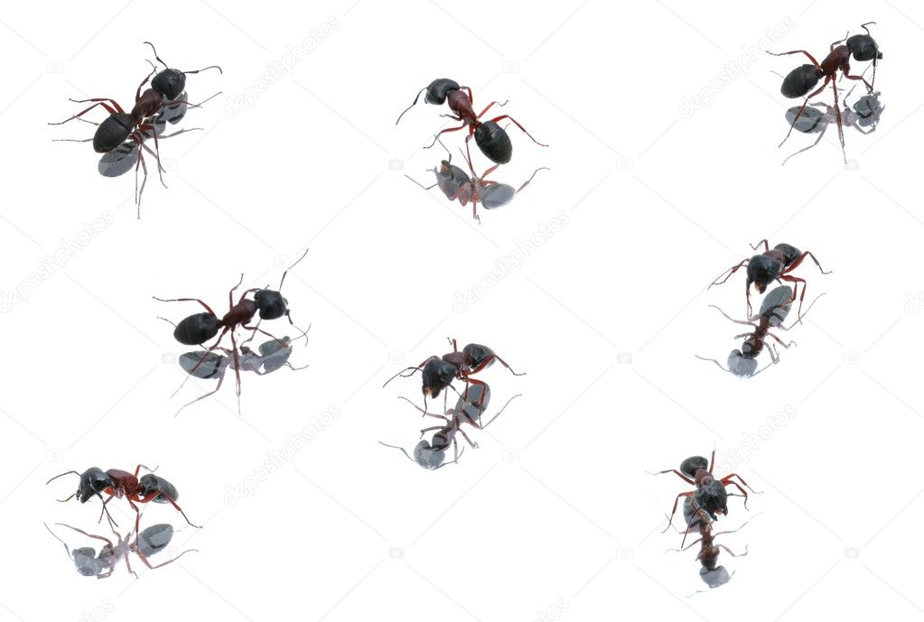 Black Ants in different positions