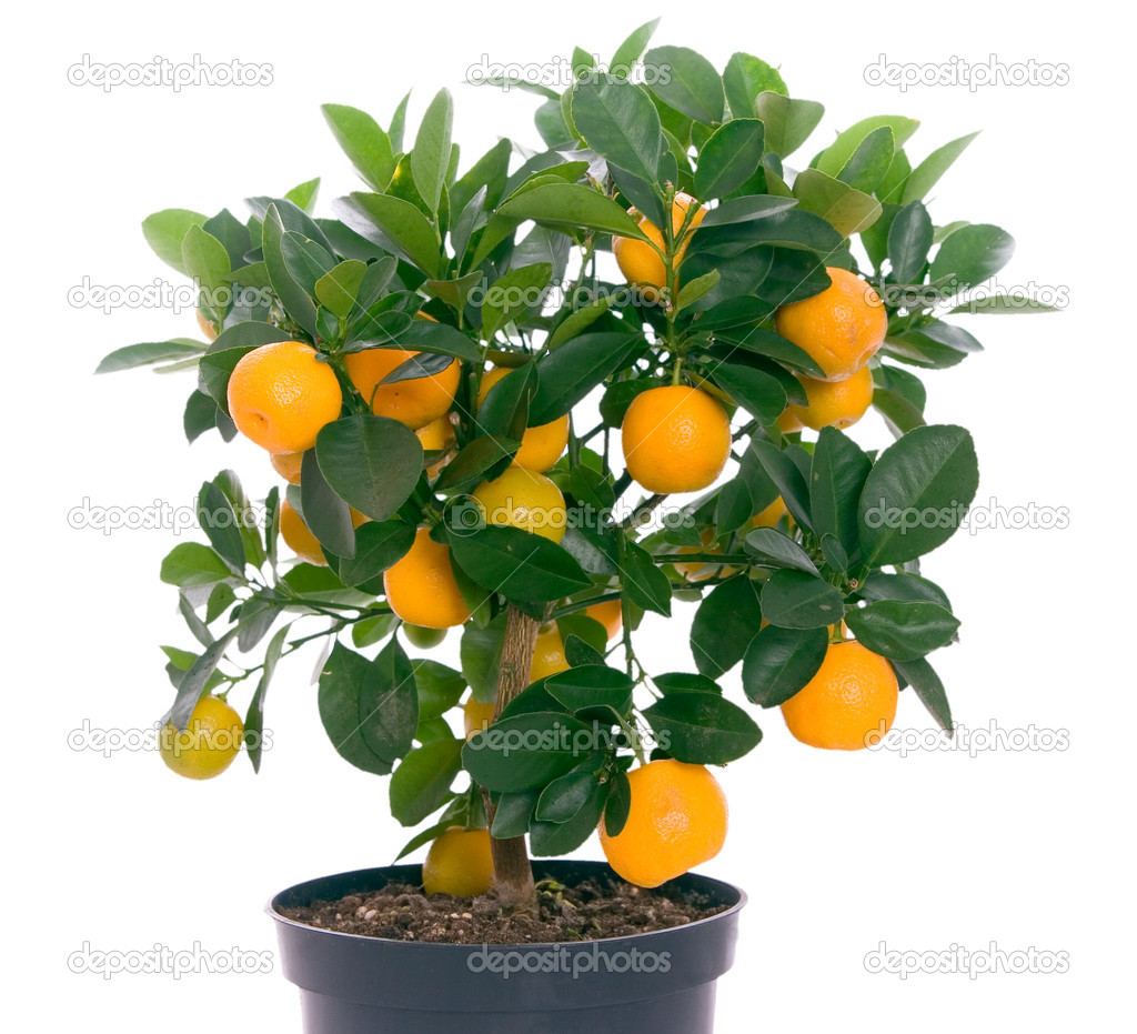Little tree with oranges