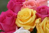 barevné růže pozadí