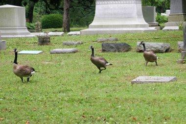 Geese running between the tombstones in a graveyard stock vector