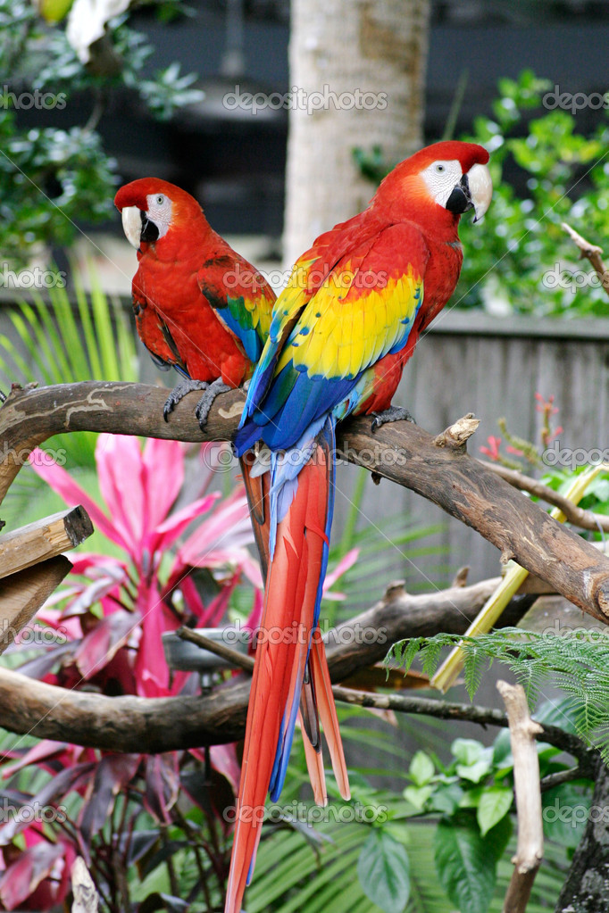 Two Colorful Parrots