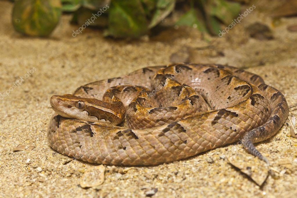 Snake, Malayan Pit Viper, focus at eyes