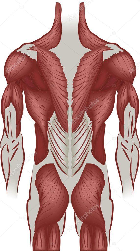 Ilustración de los músculos de la espalda — Vector de stock ...