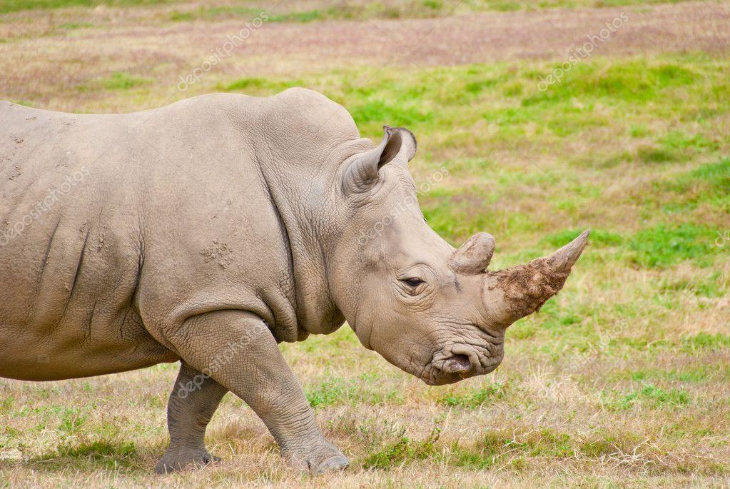 Adult Rhino Walking On Dry Grassland