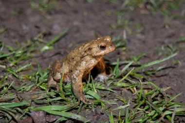 Toad Being Paralysed Before Crossing Road