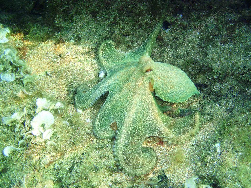 Underwatershot Of A Wild Octopus