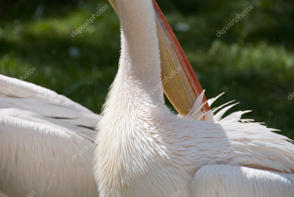 Pelican Casting Its Feathers