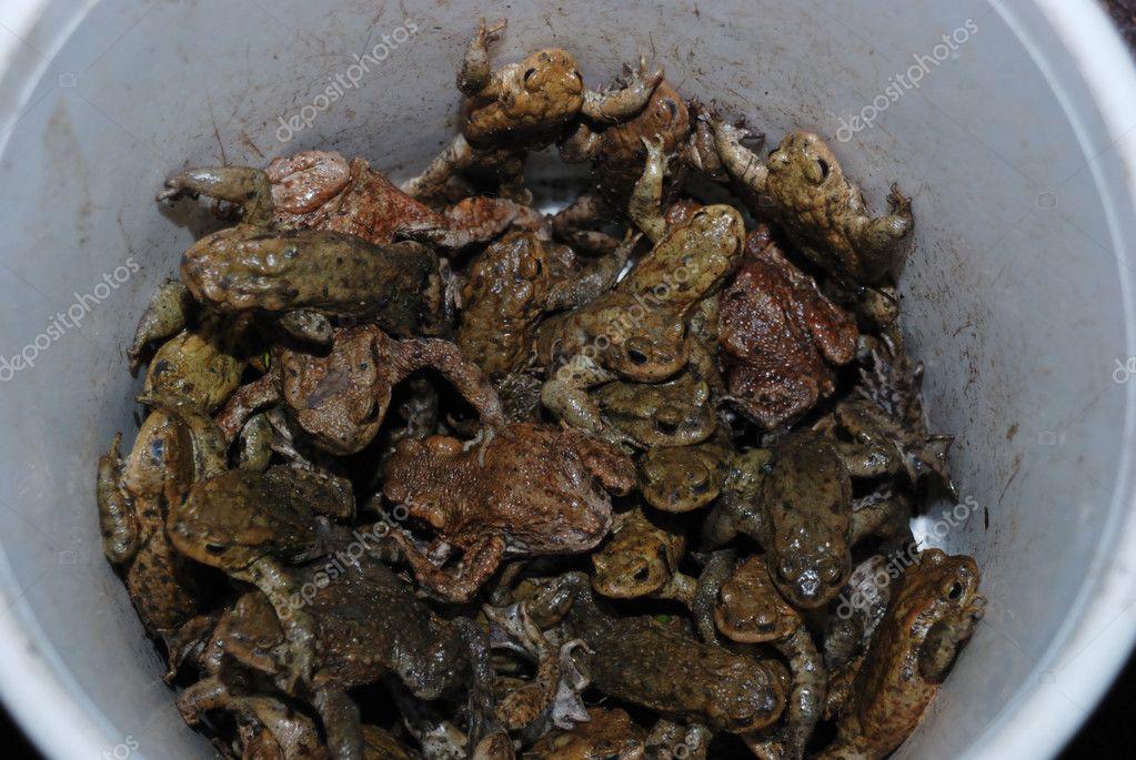 Bucket Full Of Living Toads