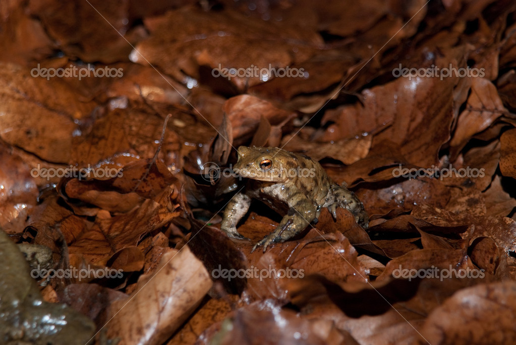 Toad Resting On Leaves In Forest