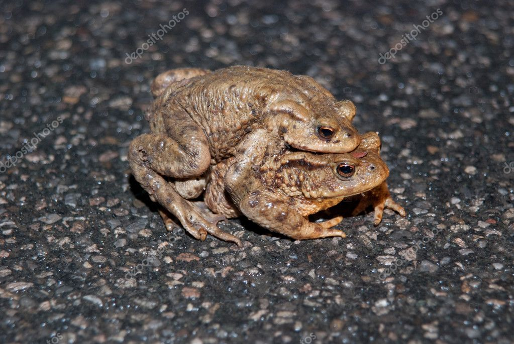 Couple Of mating Toads Crossing Road