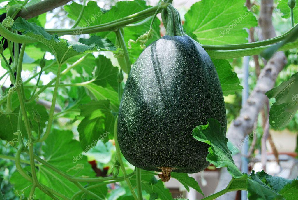 Big Green Pumkin Growing In A Vegetable Garden