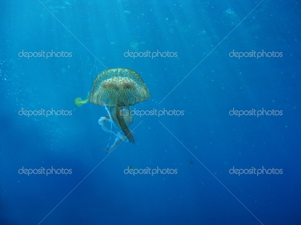 Floating Wild Jelly Fish In Ocean