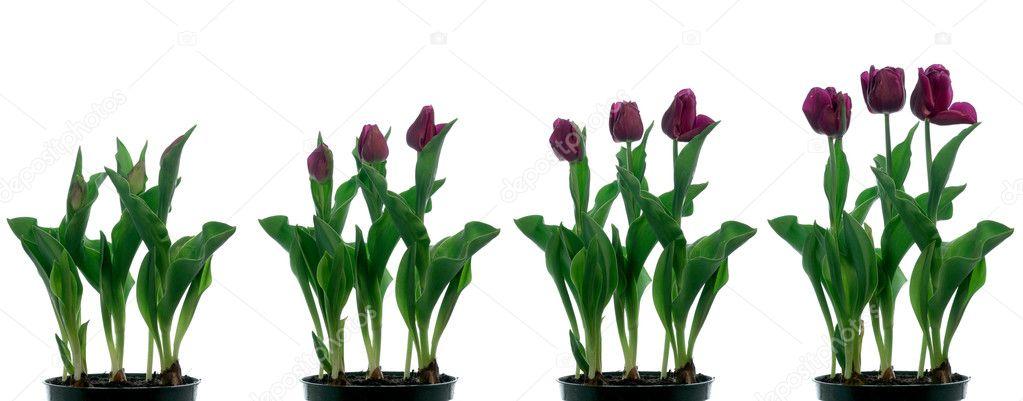 Tulip Time-lapse