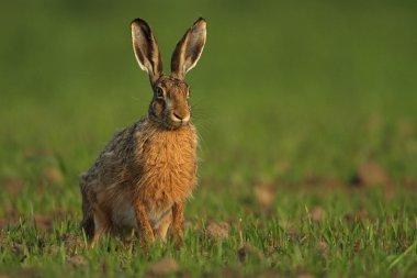 Brown hare (lepus europaeus