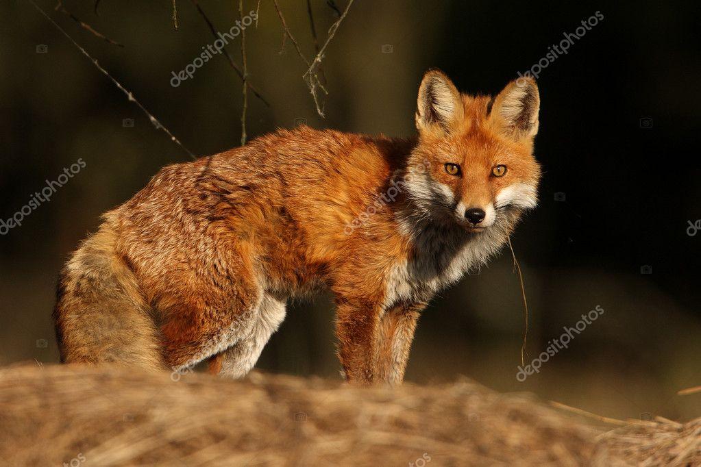 Fox vulpes vulpes