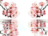 Bright pink cherry blossoms with reflection