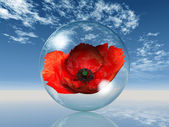 Red poppy in the bubble