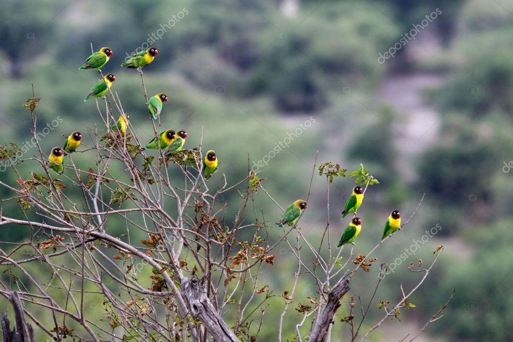 Yellow-collared Lovebird (Agapornis personatus), also called Masked Lovebir