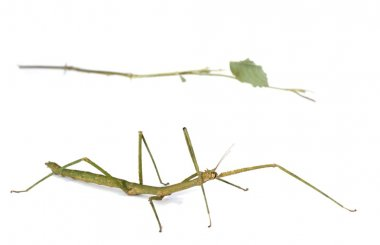 Mimicry, stick insect