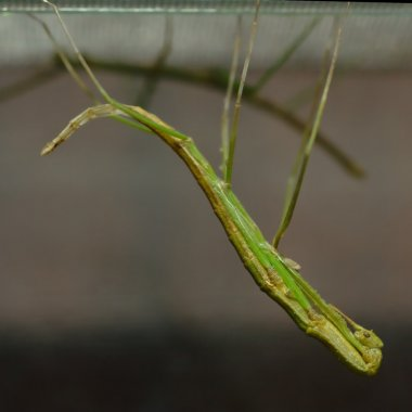 Molting stick insect