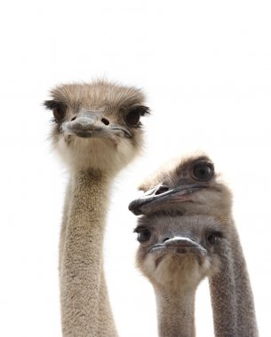 Ostriches isolated