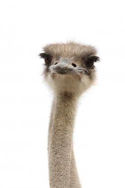 Funny ostrich heads