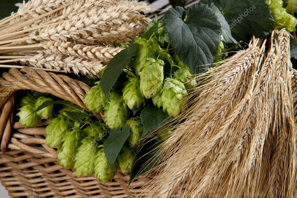Hops cones with barley