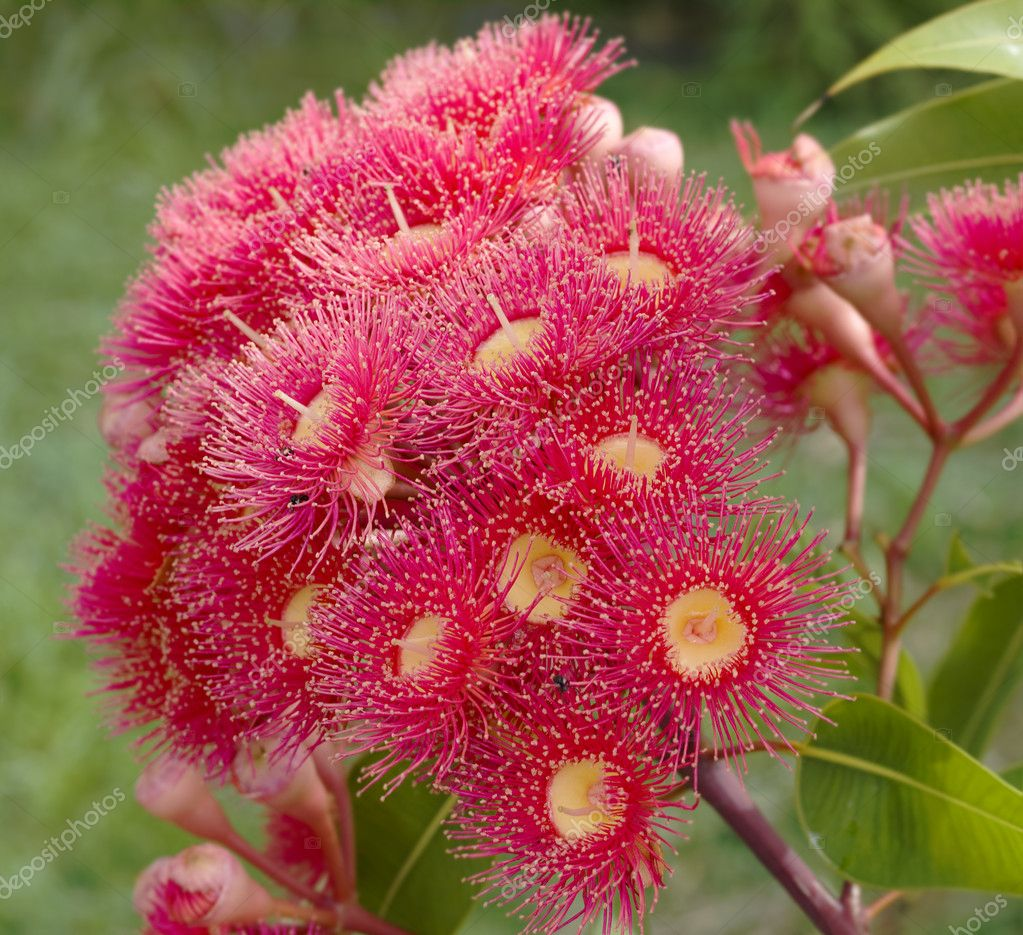 Australian Native Shade Plants: Eucalyptus Summer Red Australian Native Flower