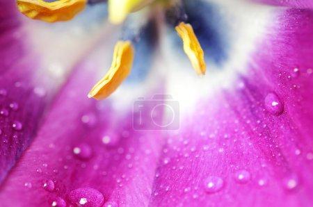 Photo pour Tulipes violettes avec gouttes d'eau - image libre de droit