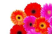 Gerbera blomma